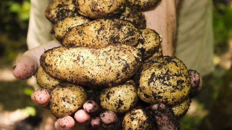 Чем подкормить картофель для роста клубней