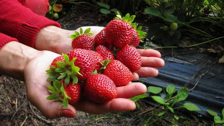 Чем подкормить клубнику после обрезки листьев осенью и весной для хорошего урожая