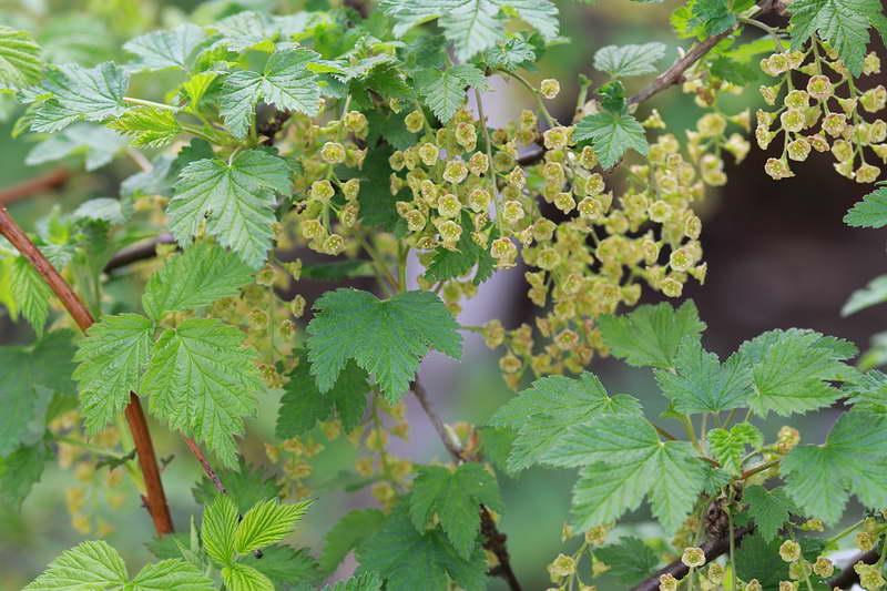 Чем подкормить красную черную и белую смородину во время цветения для обильного урожая