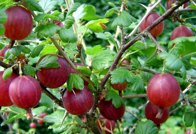 Чем подкормить крыжовник осенью после сбора урожая в августе и сентябре
