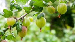 Чем подкормить крыжовник осенью весной и летом