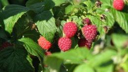 Чем подкормить малину для хорошего урожая после плодоношения и обрезки осенью