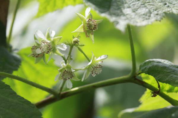 Чем подкормить малину во время цветения рецепты