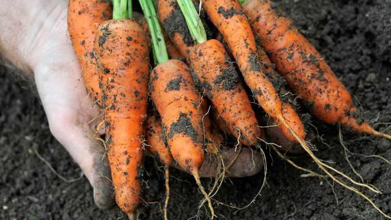 Чем подкормить морковь для роста корнеплодов и сладости