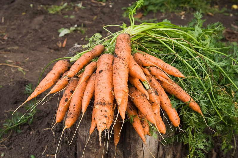 Чем подкормить морковь для увеличения корнеплодов народные средства