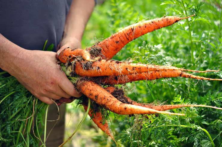 Чем подкормить морковь в конце августа и сентябре