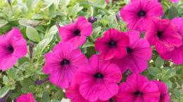 Чем подкормить петунию для обильного цветения и роста