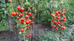 Чем подкормить помидоры в период плодоношения для урожая