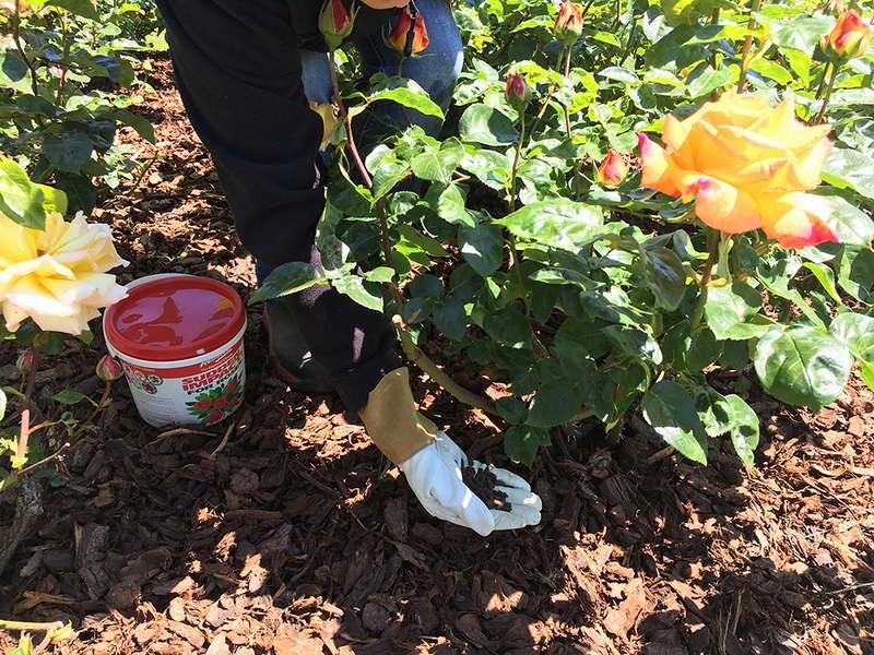 Чем подкормить розы в августе сентябре во время цветения