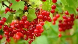 Чем подкормить смородину после сбора урожая и весной