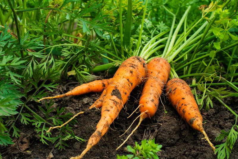 Чем подкормить свеклу и морковь народными средствами рецепты