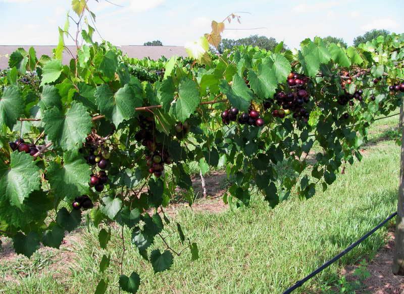 Чем подкормить виноград для быстрого созревания и сладости