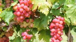 Чем подкормить виноград во время созревания ягод и после сбора урожая