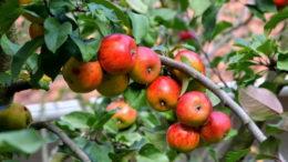Чем подкормить яблоню осенью чтобы плодоносила рецепты