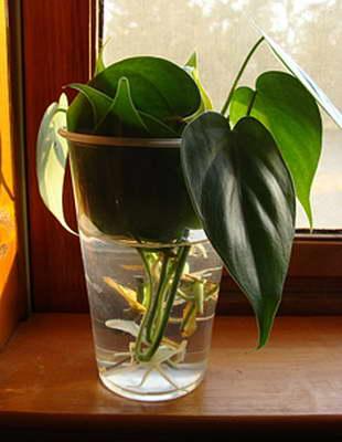 Черенкование филодендрона фото черенков укорененных в воде