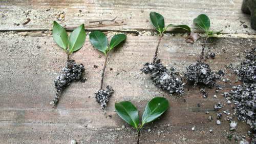 Черенкование камелии фото черенков с корнем