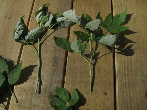 Черенкование малинового дерева фото черенков