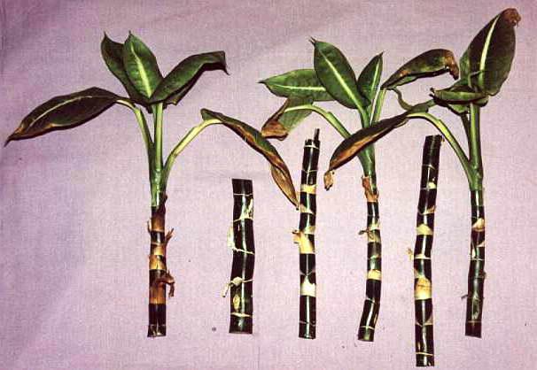 Черенкование стебля аглаонемы фото