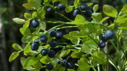 Черника посадка и уход в открытом грунте Выращивание в саду на даче фото ягод