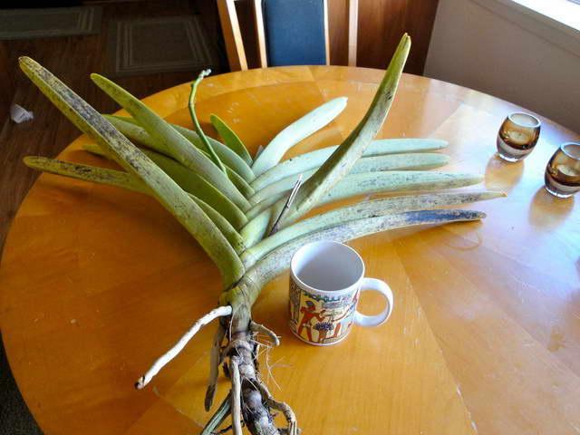Черные пятна на орхидее Ванда фото