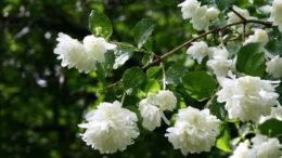 Чубушник посадка и уход в открытом грунте Размножение садового жасмина фото