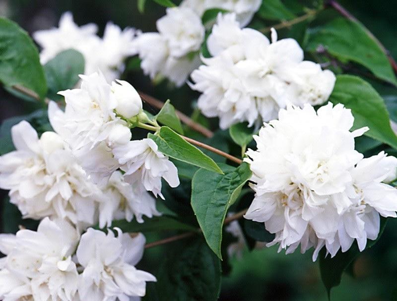 Чубушник виргинский philadelphus x virginalis 'minnesota snowflake' фото