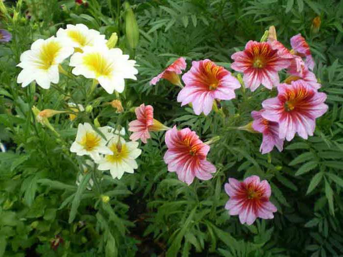 Цветы сальпиглоссис фото