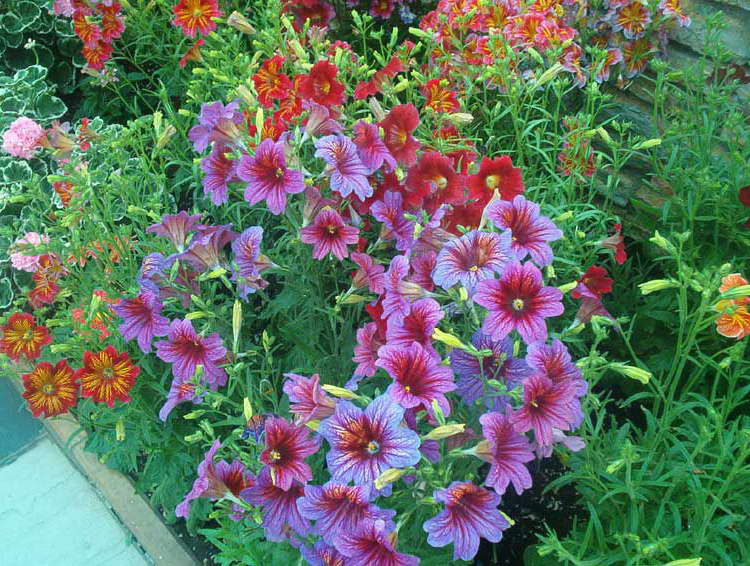 Цветы сальпиглоссис в саду фото