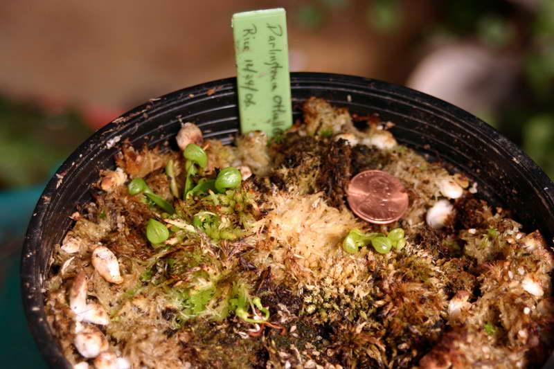 Дарлингтония из семян фото