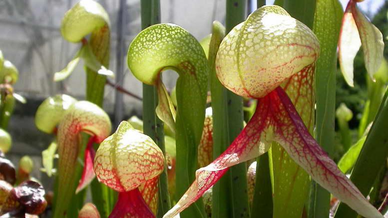 Дарлингтония калифорнийская растение хищник фото