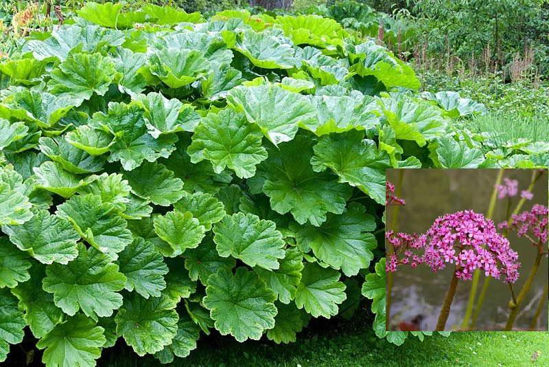 Дармера в ландшафтном дизайне фото в саду