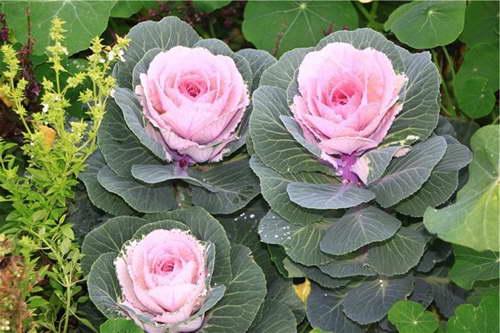 Декоративная капуста сорт Розовая цапля фото