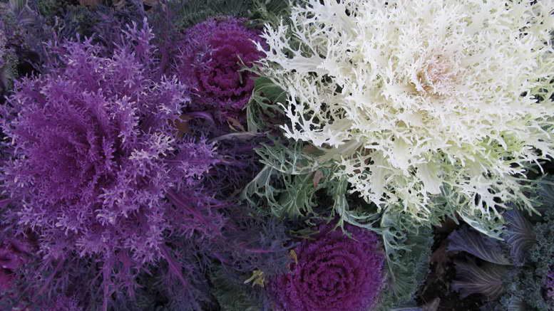 Декоративная капуста сорта с фото и названиями