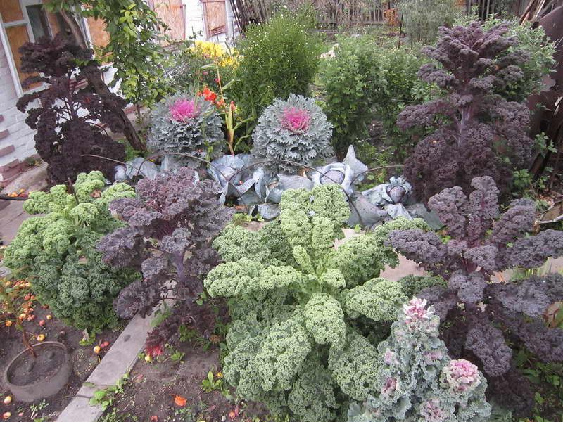 Декоративная капуста в дизайне сада фото