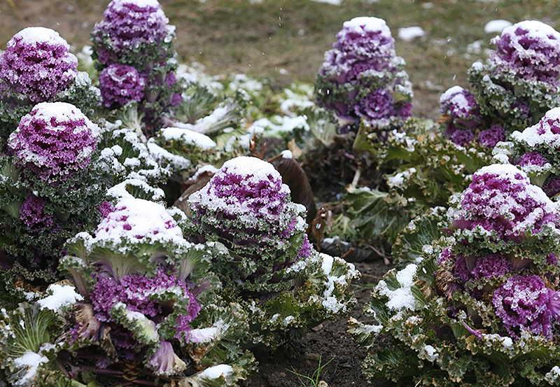 Декоративная капуста в снегу фото