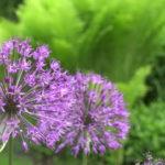 Газания цветок фото