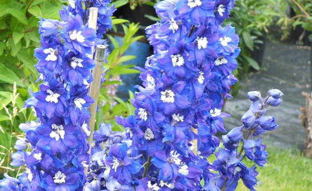 Дельфиниум беладонна Delphinium belladonna фото цветов в саду