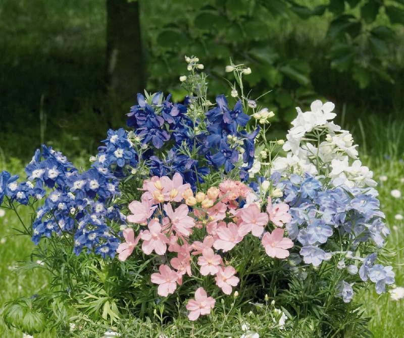 Дельфиниум крупноцветковый Delphinium grandiflorum фото цветов в саду