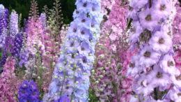 Дельфиниум многолетний посадка и уход фото Цветов в саду