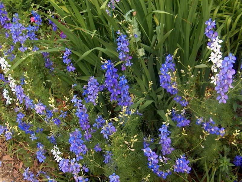 Дельфиниум полевой Delphinium consolida фото цветов на клумбе