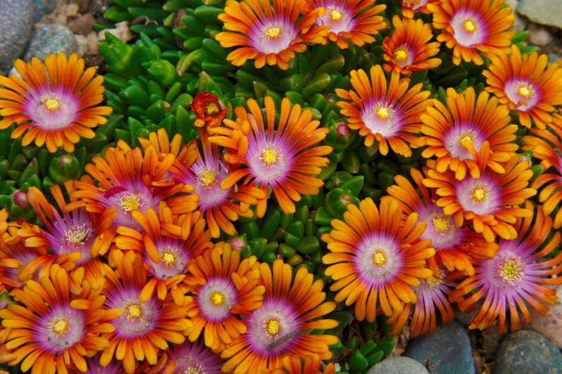 Делосперма фаер Delosperma Fire Spinner фото цветов