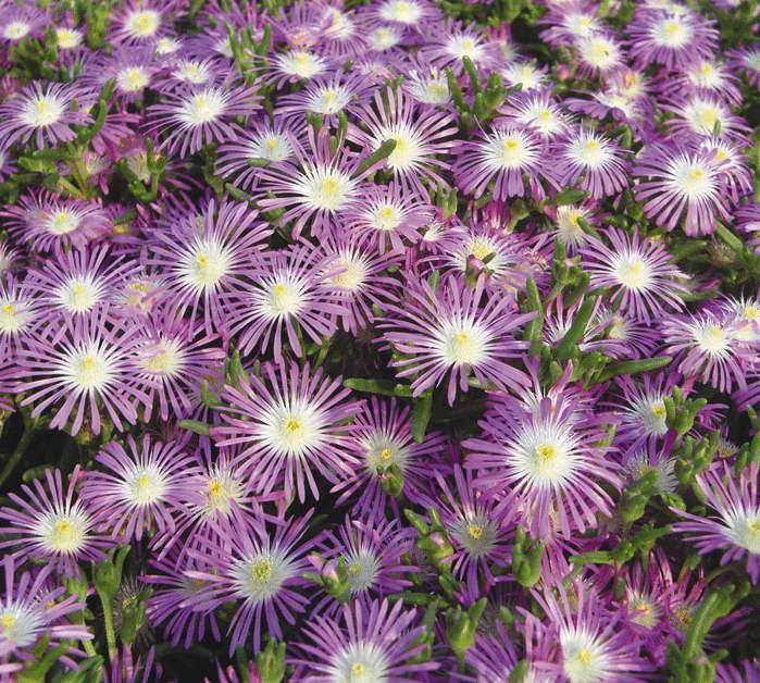 Делосперма флорибунда или обильноцветущая сорт Мерцающие звезды фото