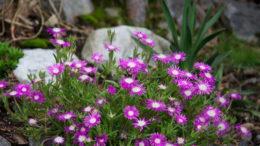 Делосперма обильноцветущая травянистые растения для открытого грунта фото цветов