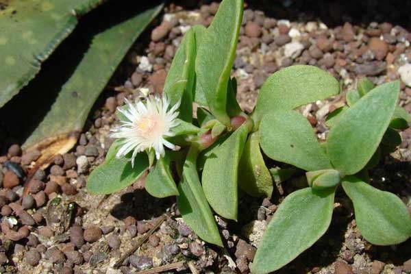 Делосперма традесканциевидная Delosperma tradescantioides фото