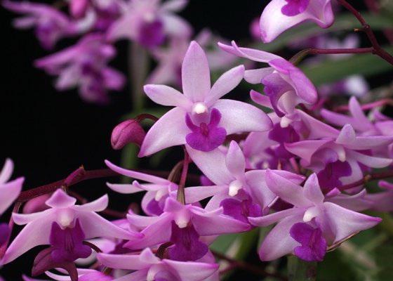 Дендробиум Кинга Dendrobium kingianum