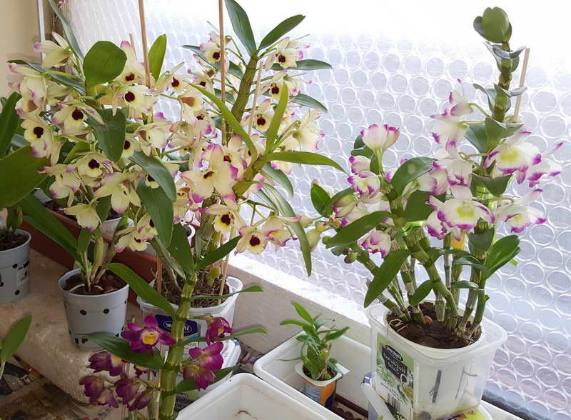 Дендробиум благородный Dendrobium nobile фото