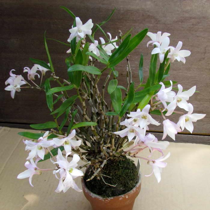 Дендробиум четковидный монилиформе Dendrobium moniliforme фото