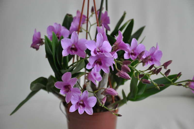 Дендробиум фаленопсис или дендробиум двугорбый, австралийская орхидея Dendrobium phalaenopsis фото