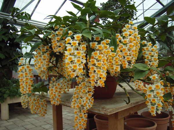 Дендробиум густоцветный Dendrobium densiflorum фото