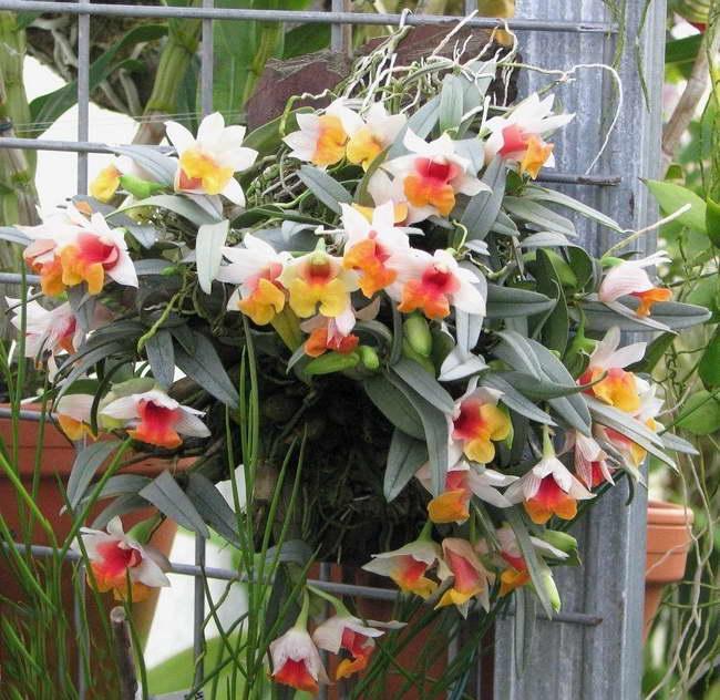 Дендробиум прекрасный Dendrobium bellatulum фото